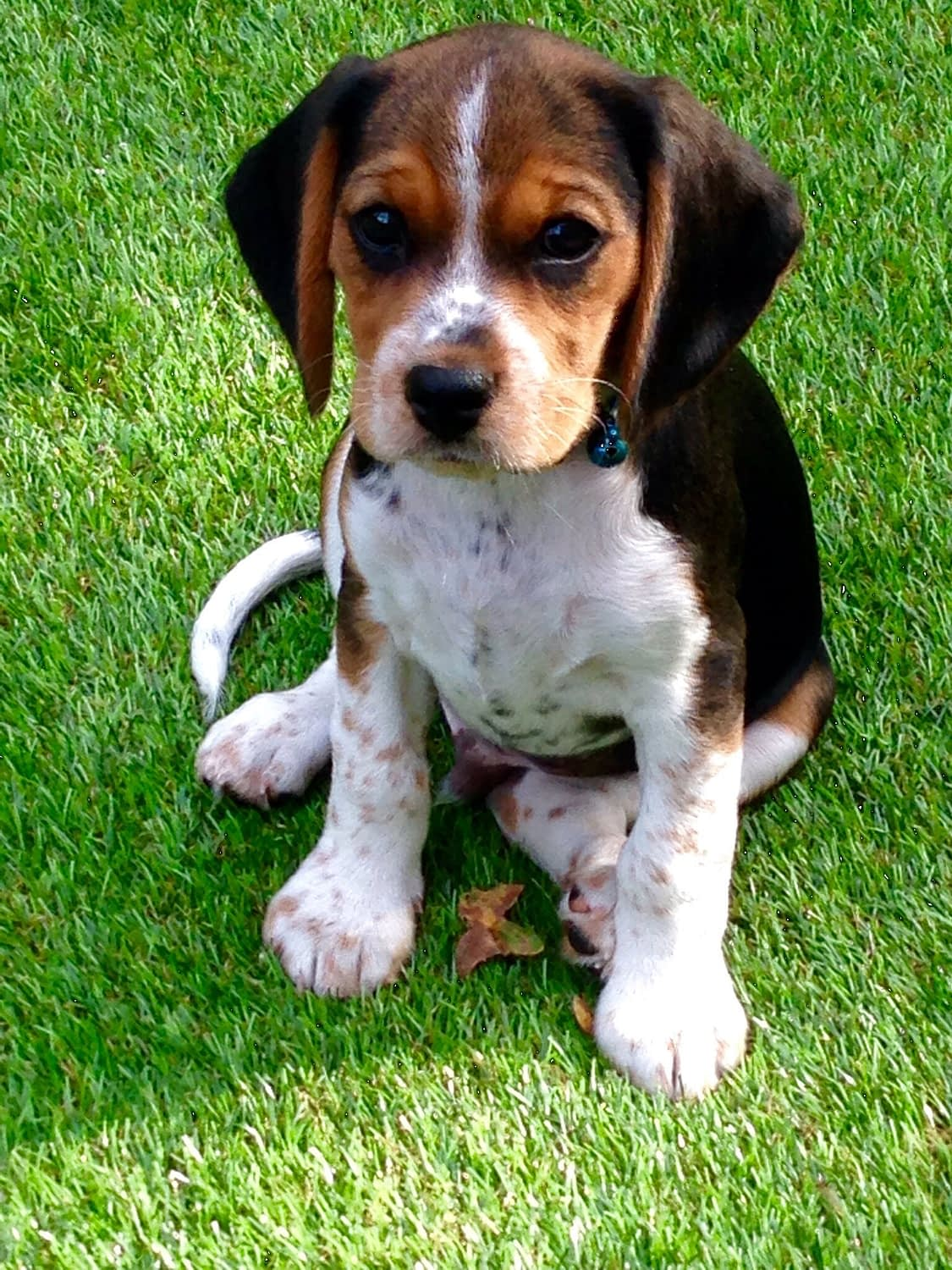 Basselier Puppies – Breeders – Rescues – Shelters