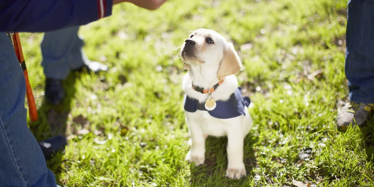 Adorable guide dog puppies go viral