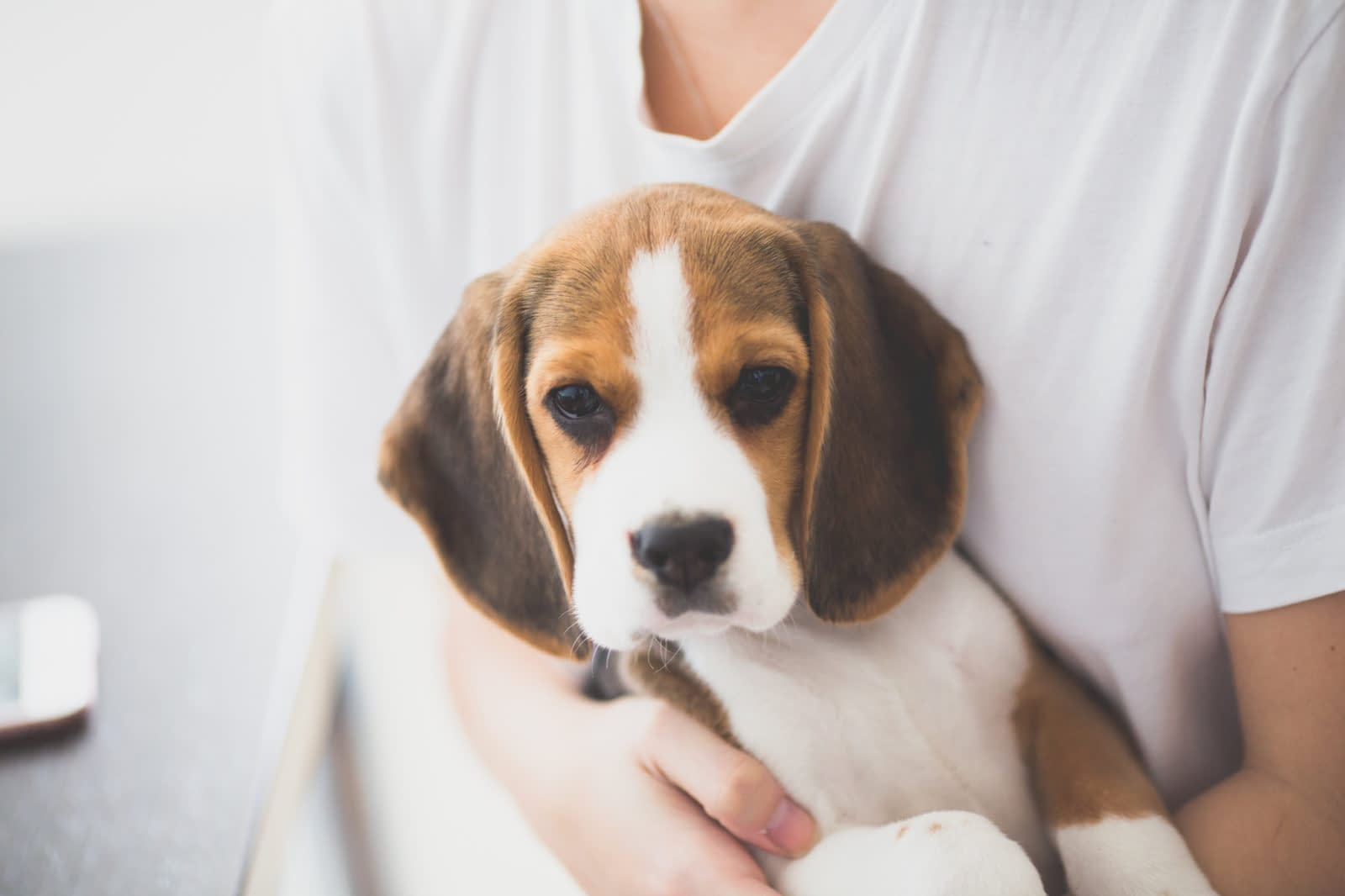 Basset Hound and Beagle Mix Puppies – Breeders – Rescues – Shelters