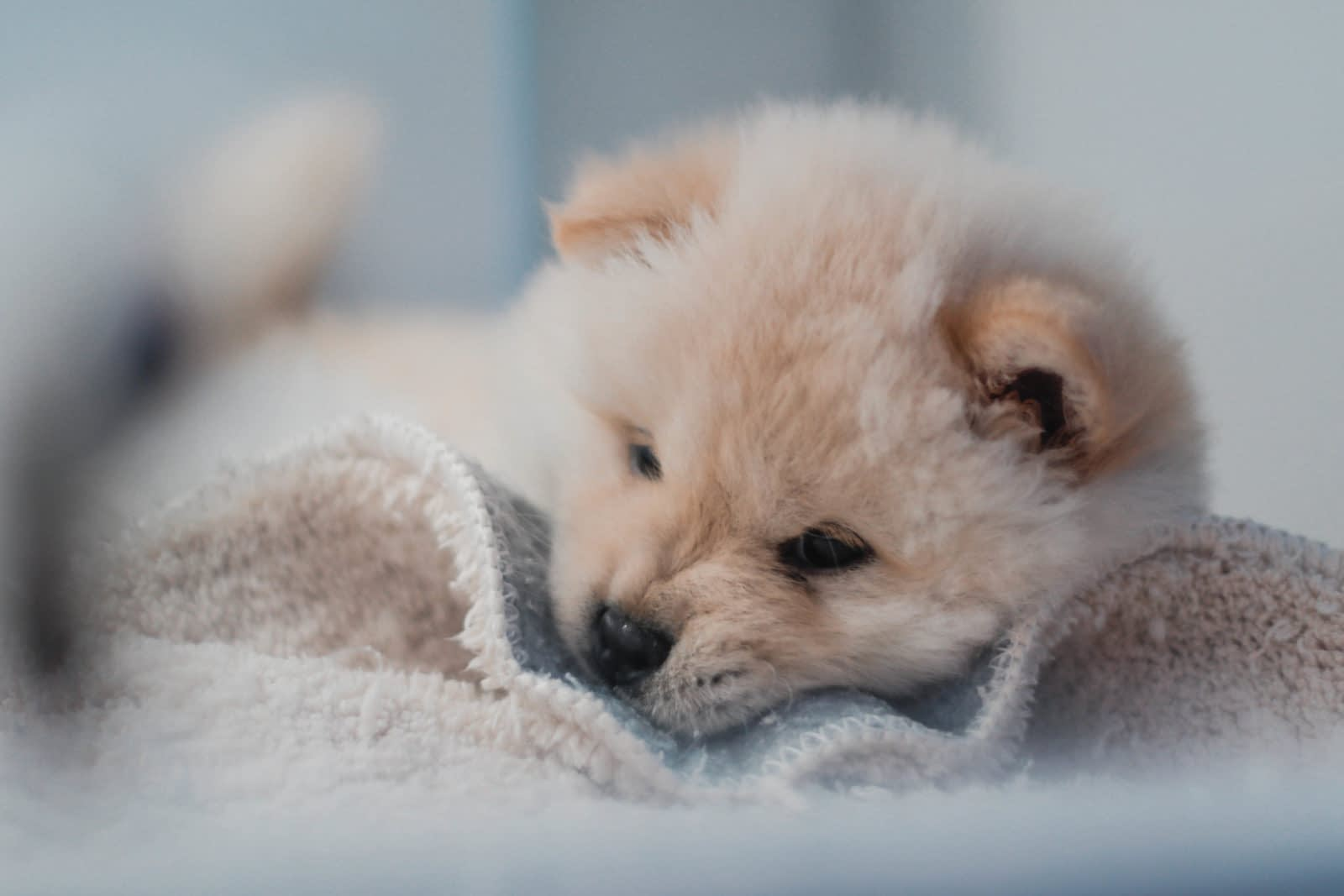 Teacup Puppies for sale in Rhode Island, RI