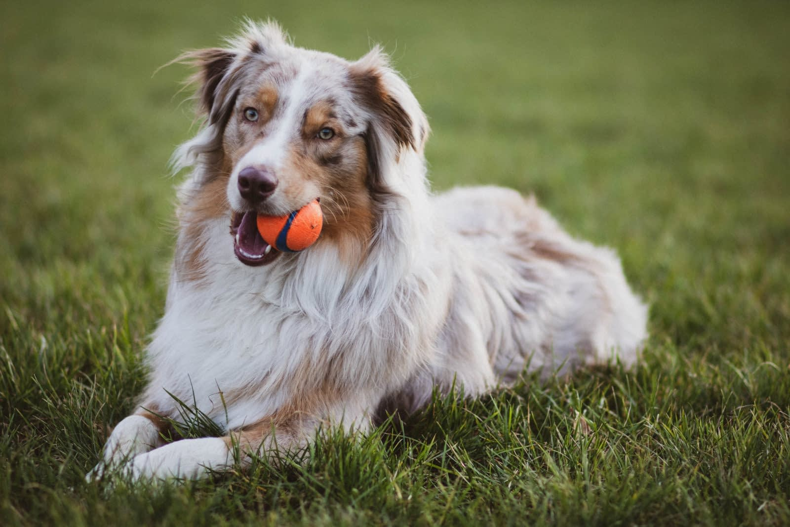 Australian Shepherd Puppies – Breeders – Rescues – Shelters