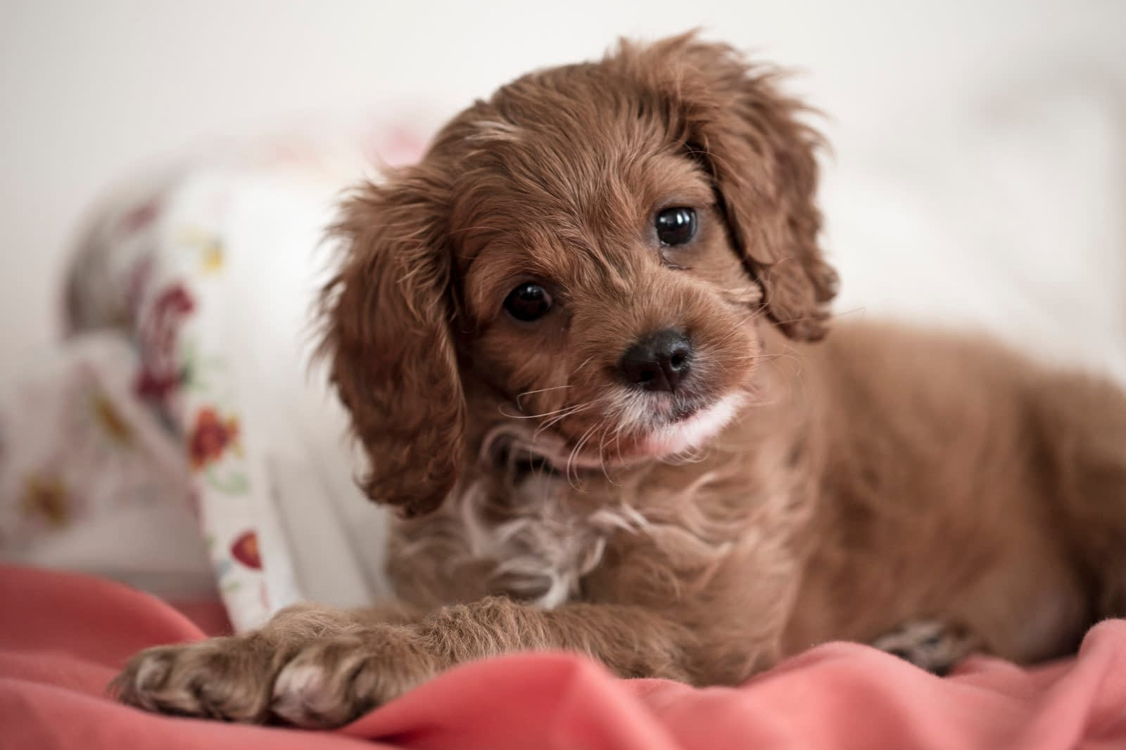 Teacup Puppies for sale in California, CA