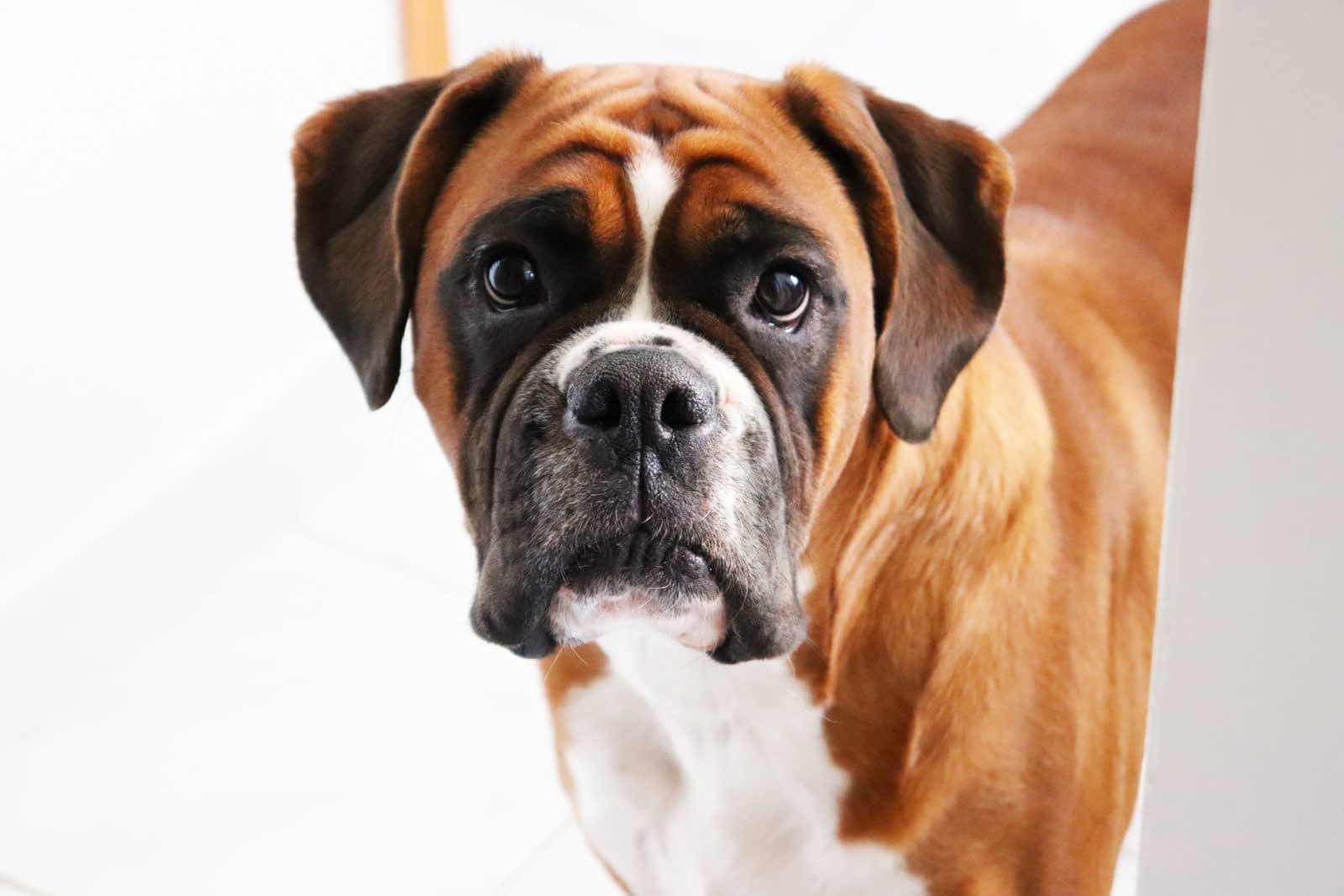 American Bull Boxer Puppies – Breeders – Rescues – Shelters