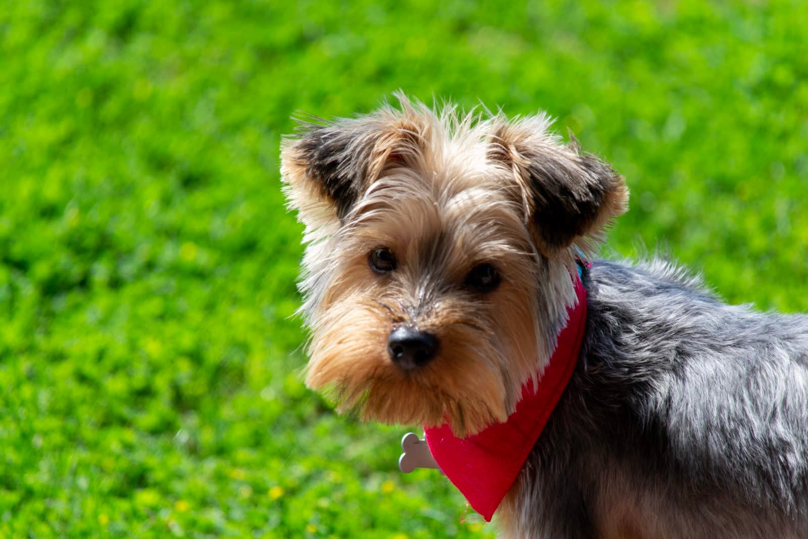 Teacup Yorkie puppies for sale in WV