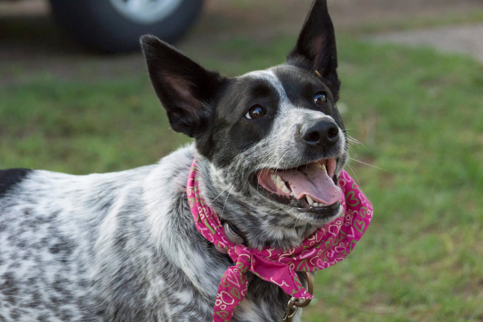 Australian Cattle Dog Puppies – Breeders – Rescues – Shelters