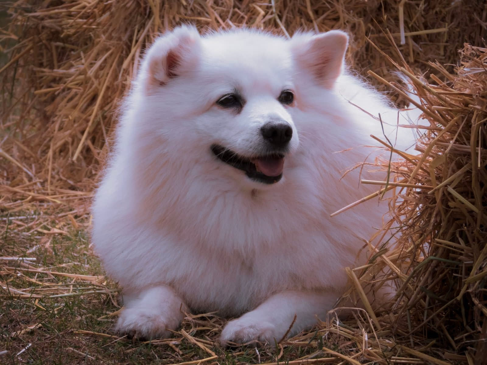 American Eskimo Dog Puppies – Breeders – Rescues – Shelters