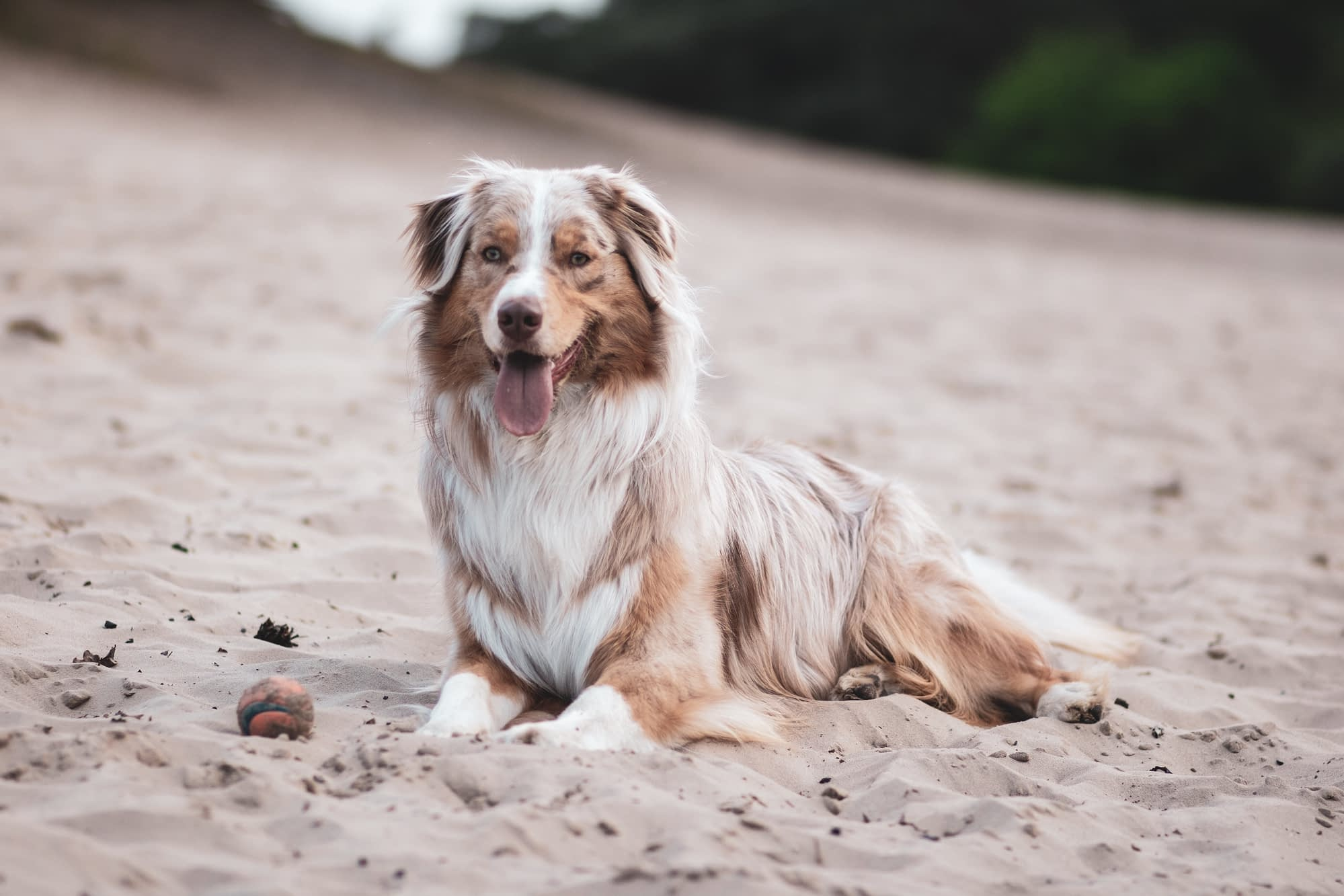 Afghan Hound and Collie Mix