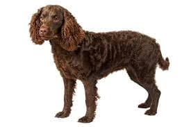 American Water Spaniel Puppies – Breeders – Rescues – Shelters