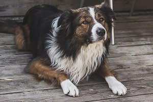 Afghan Sheepdog rescues and shelters