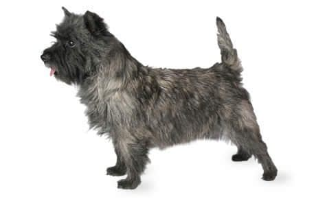 Cairn Terrier Puppies – Breeders – Rescues – Shelters