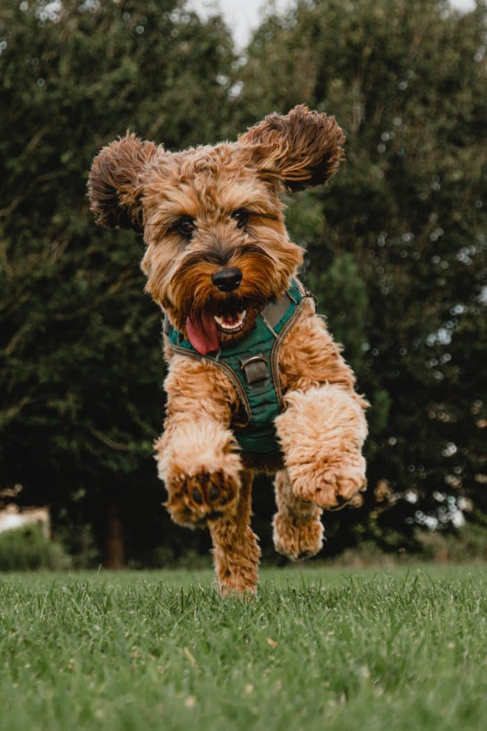Airedale Terrier Puppies – Breeders – Rescues – Shelters – Training