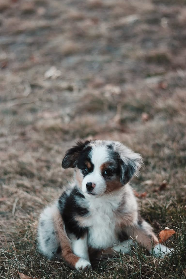 Teacup Puppies for sale in Michigan, MI
