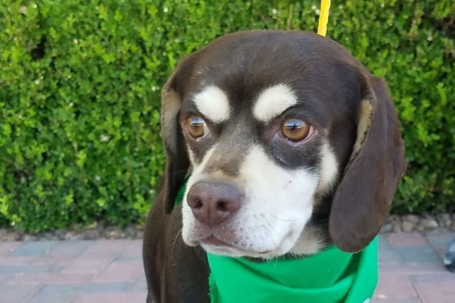 Dogs for Adoption in Las Vegas, Nevada