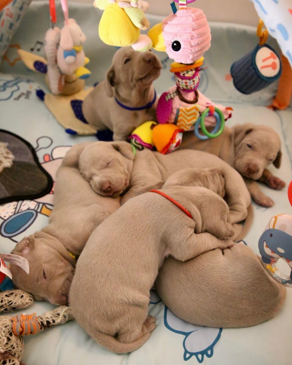 Teacup Puppies for sale in Virginia, VA