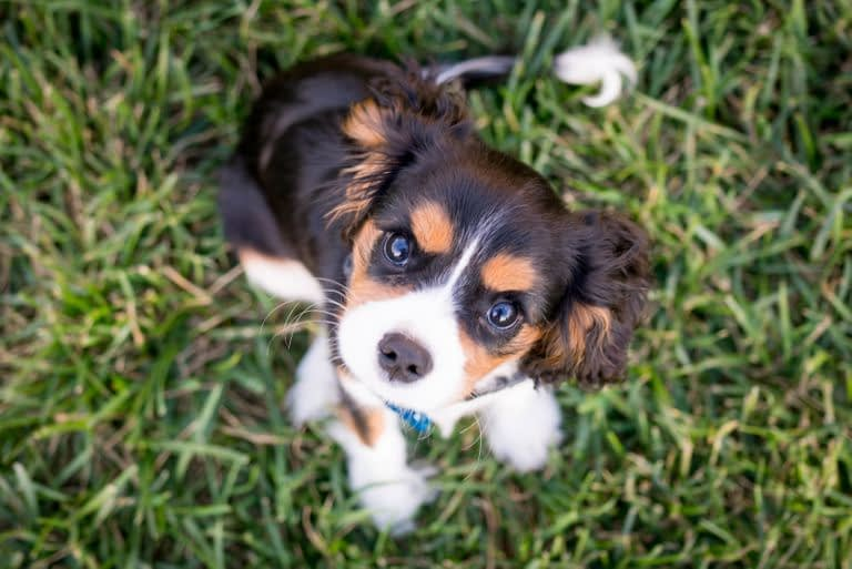Teacup Puppies for sale in Arkansas, AR