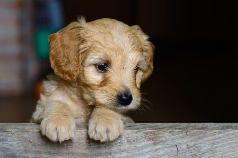 Teacup Puppies for sale in Georgia, GA