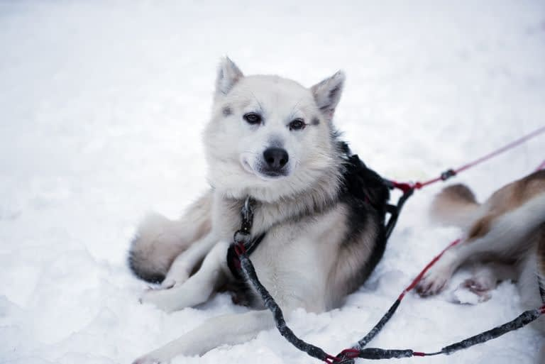Alusky Puppies – Breeders – Rescues – Shelters