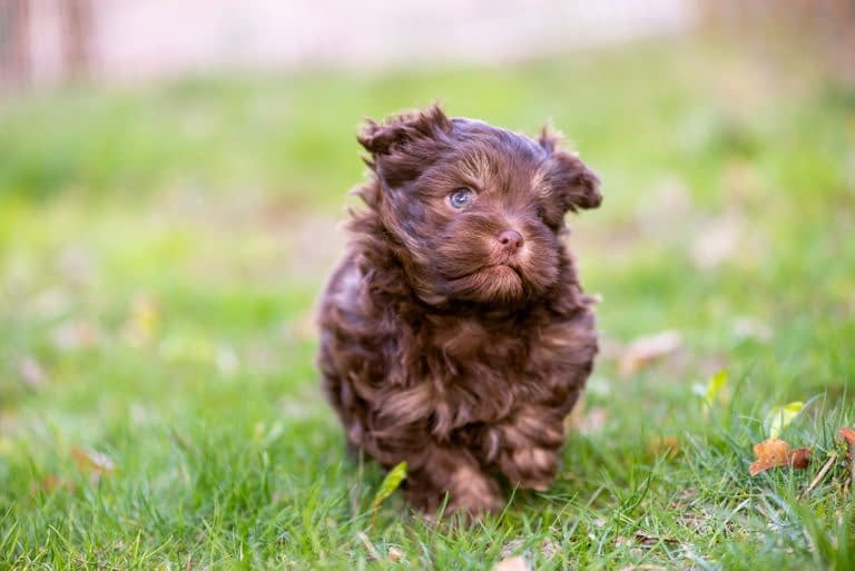 Teacup Puppies for sale in Nevada, NV