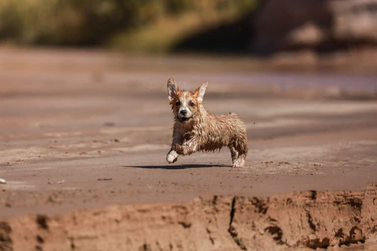 Australian Terrier Puppies – Breeders – Rescues – Shelters