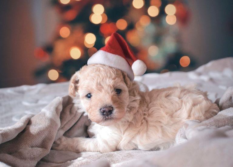 Teacup Puppies for sale in Alabama, AL