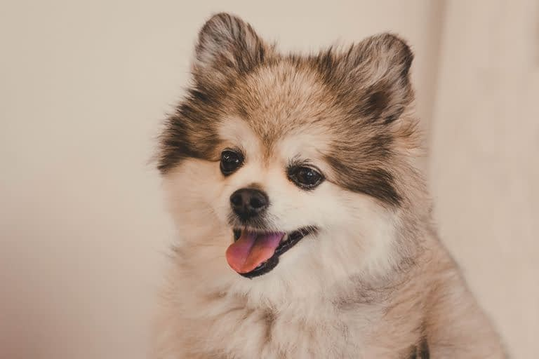 Teacup Puppies for sale in Colorado, CO