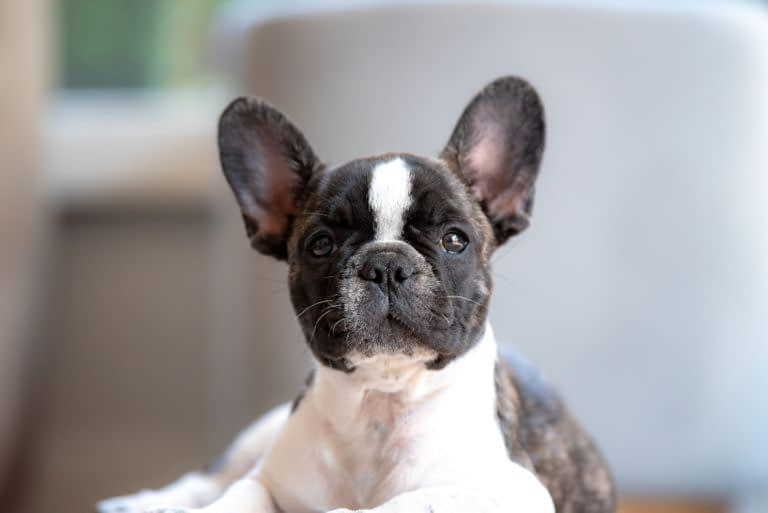 Teacup Puppies for sale in Iowa, IA