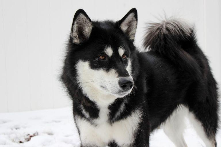 Alaskan Malamute Puppies – Breeders – Rescues – Shelters
