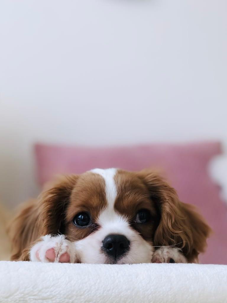Teacup Puppies for sale in Arizona, AZ